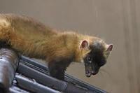 自分の尻尾を追いかけるホンドテン、カピバラ母娘「ルナ&リオ」(井の頭自然文化園 June 2020) - 続々・動物園ありマス。