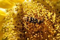 ■ カミキリ 3種   21.8.9   (ヨツスジトラカミキリ、ウスバカミキリ、クビアカトラカミキリ) - 舞岡公園の自然2
