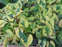 五色ドクダミ - だんご虫の花