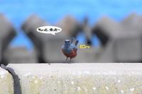 よく見りゃ、イケメンのイソヒヨドリ - わくわくバードウォッチング こんなの鳥ました