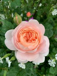 5月の庭 ⑩ - Lupinus Garden ~botaniの庭より
