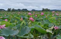 雨上がり、伊豆沼のハスの花を見に行く - 栗駒山の里だより