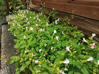 トレニアがかわいい - だんご虫の花