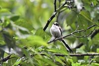 森の生物たち・・・エナガさん - 鳥と共に日々是好日③