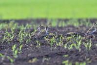 畑地にムナグロ - 季節の映ろひ