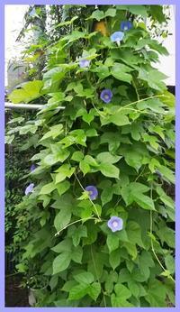 庭の花 遅咲きの朝顔が♪ - 自然のアルバム2