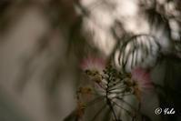 合歓の木 / Persian Silk Tree - Seeking Light - 光を探して。。。