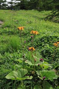 池の平湿原の花たち(2) (2021/8/11撮影) - toshiさんのお気楽ブログ