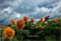 夏の終わりの向日葵 - 今が一番