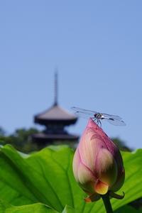 蓮の花 ~三渓園~ - ぺんたぷりずむ