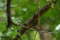 サンコウチョウ 08月22日 - 旧サンヨン野鳥撮影放浪記