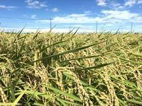 今年は豊作、、、しかし、米価が、、、? - 「平川を守る会」公式ブログ
