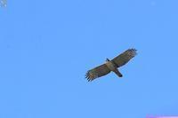 吠えるクマタカ - 野鳥公園