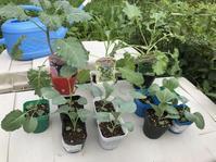秋植えの準備&定植スタート - 家庭菜園ニストabuさん家の美味あれこれ