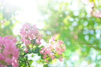 サルスベリ - 野沢温泉とその周辺いろいろ2