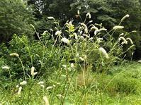 ナガボノシロワレモコウ 長穂の白吾木香 - 里山の四季