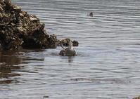 キアシシギとコサギ - 写真で綴る野鳥ごよみ