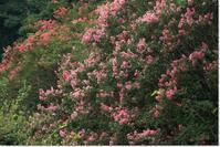 百日紅の花が満開でした! - ハチミツの海を渡る風の音