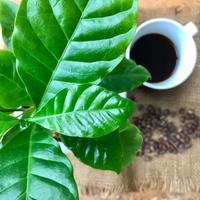 暮らしのカケラ 9月 ( 2021 ) 〜 コーヒーの木 - カフェのテントの下で~cafe chez nousの12ヵ月~