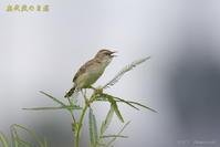 セッカ(終) - 奥武蔵の自然
