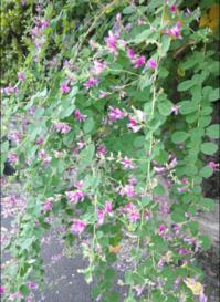足早に季節は深まり 萩の花 - 青春の残照を追いかける日々