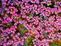 サルスベリの花びらたち - おやじのかおり TM