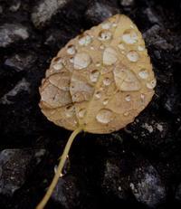 雨上がりの枯葉と雨露 - おやじのかおり TM
