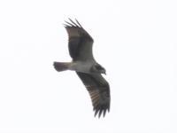 ★コサメビタキやサンコウチョウが見られました!先週末の鳥類園(2021.9.4~2021.9.5) - 葛西臨海公園・鳥類園Ⅱ