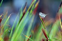 おまけのセッカ - 比企丘陵の自然