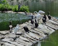 波志江沼で 水鳥編 - 星の小父さまフォトつづり