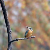 秋のカワセミ - 水元かわせみの里水辺のふれあいルーム