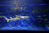 京急油壺マリンパーク「回遊水槽」~レモンザメはレモン色!? - 続々・動物園ありマス。