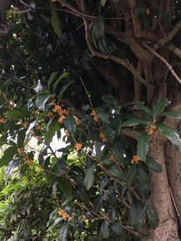 金木犀の香漂う中で秋野菜の植え付け - ワクワク♪ハマっ子野菜作り♪
