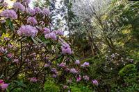石楠花と春の花咲く岡寺 - 花景色-K.W.C. PhotoBlog