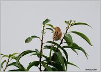 梢で囀るセッカ - 野鳥の素顔 <野鳥と日々の出来事>