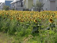 ヒマワリ畑 - 小さなお庭のある家4
