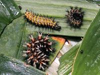 ルリタテハの幼虫 - しらこばとWeblog