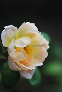 9/13 コンテ・ド・シャンパーニュ - 「あなたに似た花。」