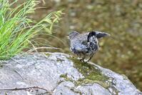 カワガラス幼鳥 - 四季に遊ぶ