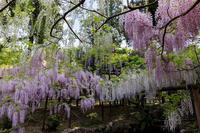 春日大社萬葉植物園の藤 - 花景色-K.W.C. PhotoBlog