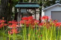 見頃になった近所の神社の彼岸花 - あだっちゃんの花鳥風月