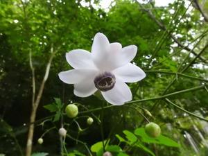 『山裾に咲く蓮華升麻(レンゲショウマ)』 - 自然風の自然風だより