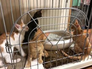 うにママの子猫と従姉妹猫、4匹一緒に譲渡誓約しました - 青梅にゃんにゃん・サークル「WISH」