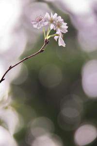 「四季桜を胸に抱いて生きよう」 - 光と彩に、あいに。