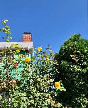 咲いてきた秋バラ?〝グラハムトーマス〟〝コフレ〟 - 薪割りマコのバラの庭