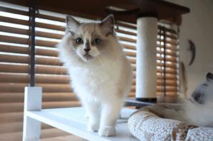 猫をかぶったポール君 - Blue Moon  ラグドール