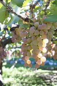 ワイン醸造用の甲州ぶどうの収穫 - マキパン・・・homebake パンとお菓子と時々ワイン・・・