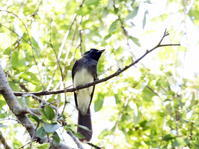 MFの小さな森で渡りの立ち寄りの鳥 その3(サンコウチョウ) - 私の鳥撮り散歩