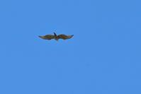 鷹の渡りへ...【クマタカ・ハチクマ・サシバ】 - 鳥観日和
