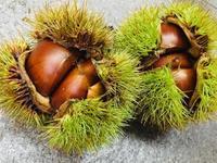 今年もたくさんの栗を収穫♪ - 日本夕陽百選の宿『三七十館』 ☆香住の旬☆情報